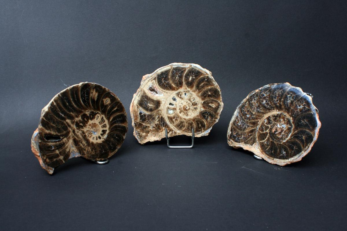 fosili amonita
