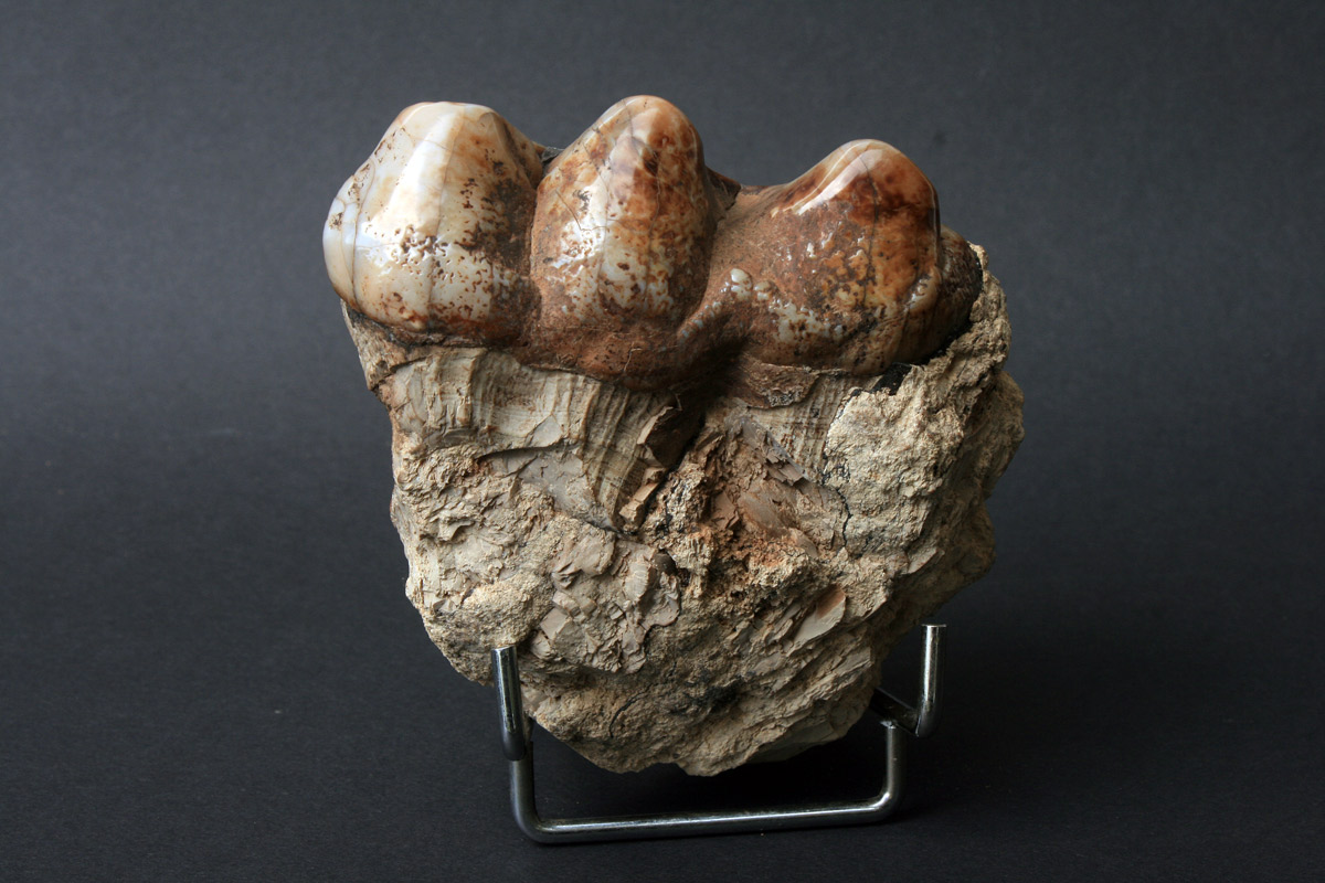 fosil mastadona