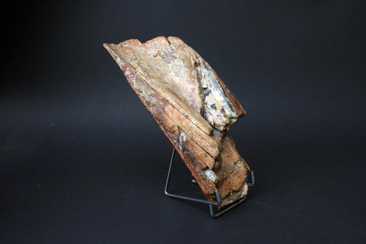 fosil mamuta