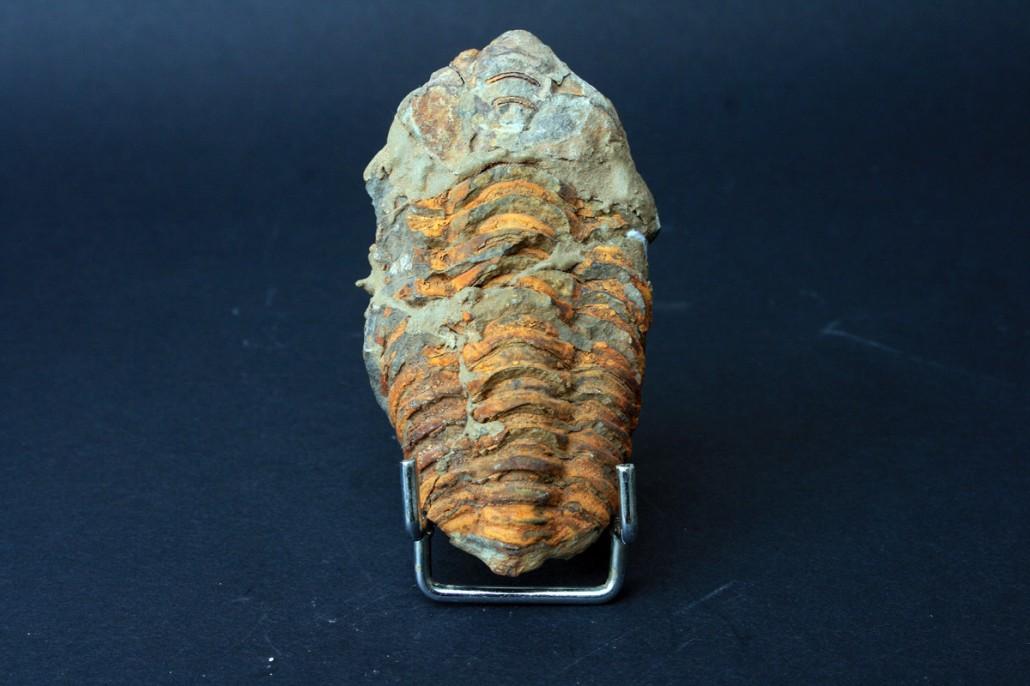 Trilobit fosil