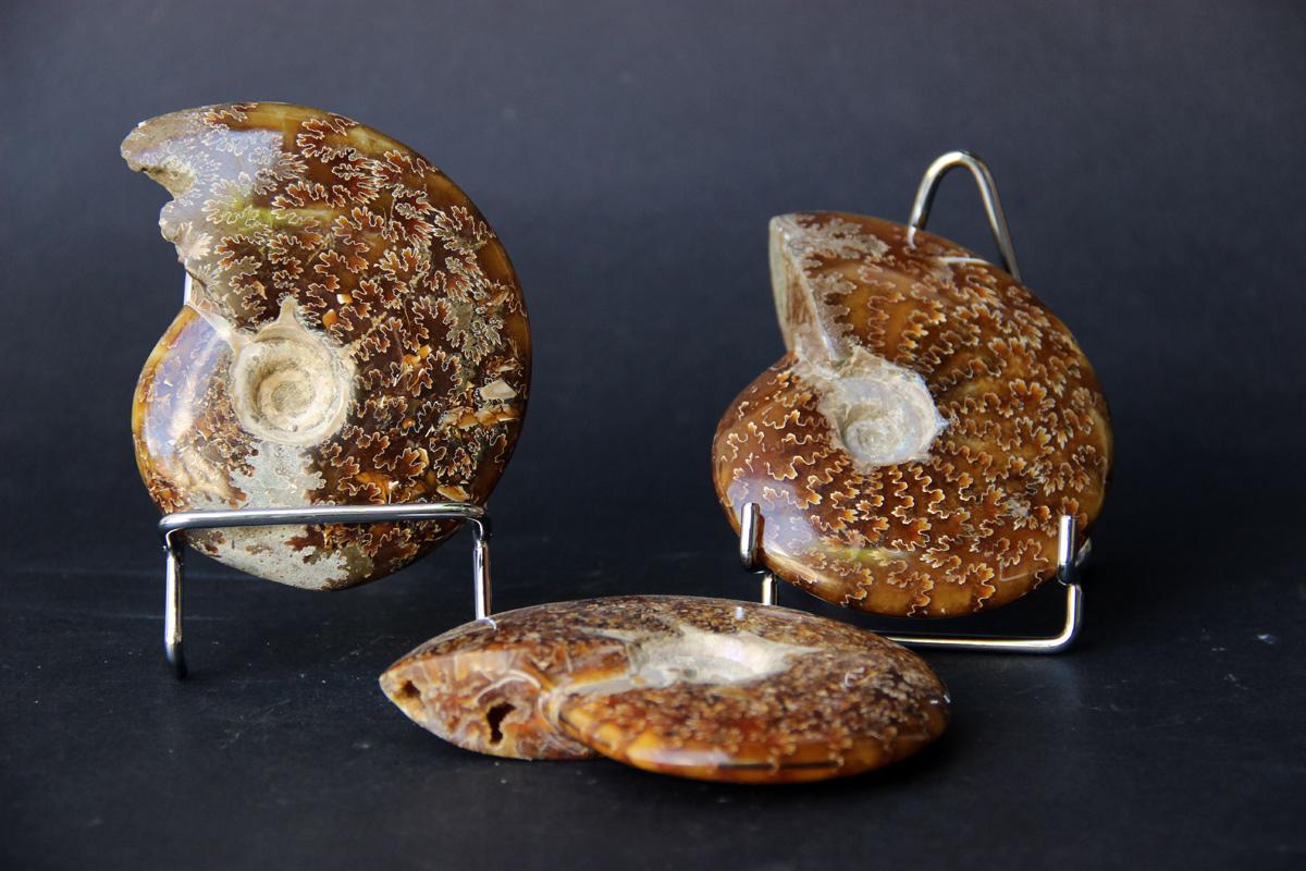 fosili Amoniti