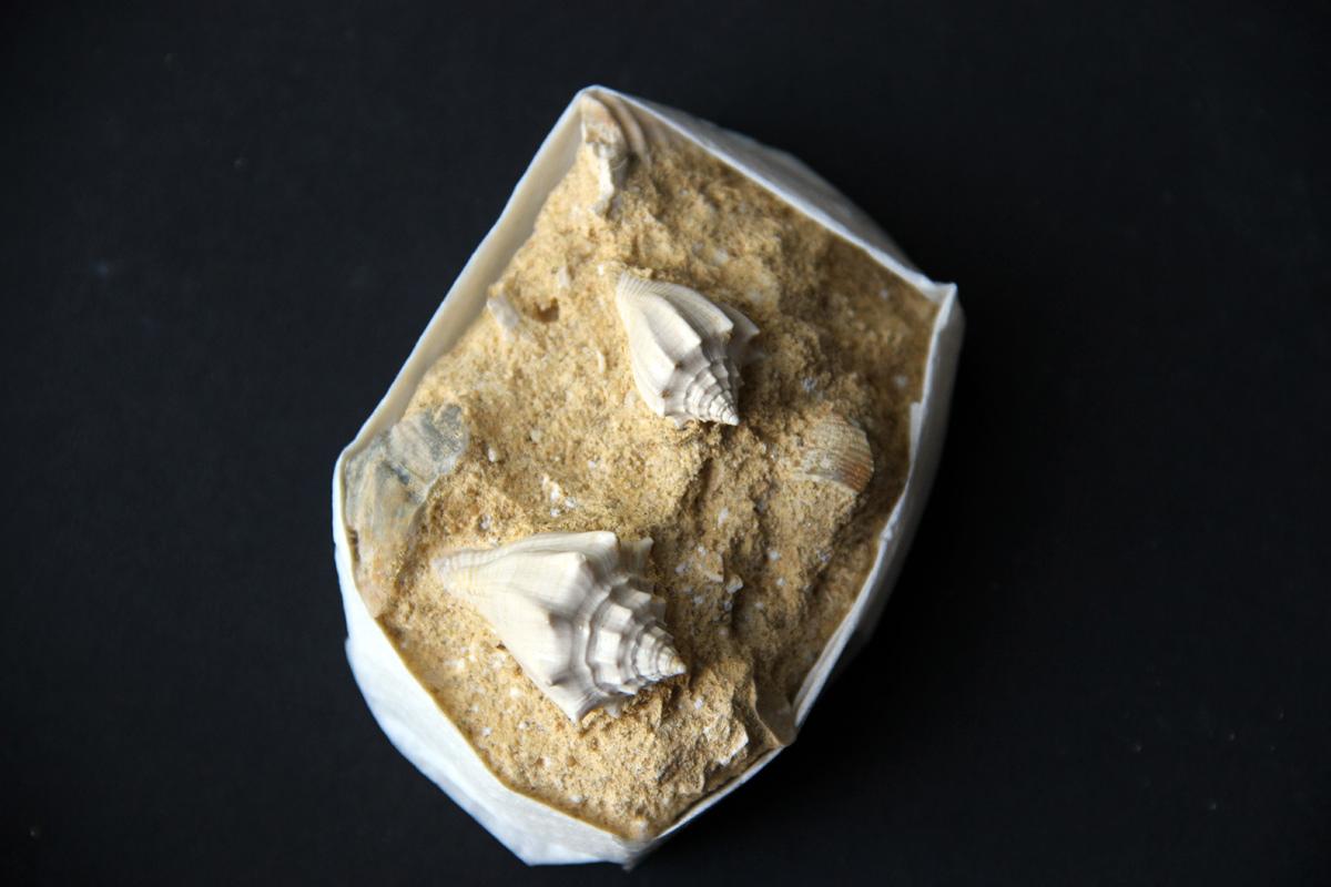 fosili školjaka