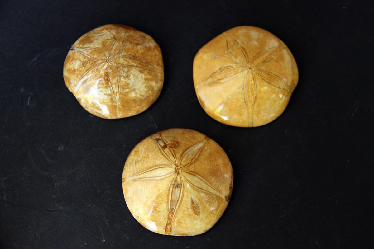 fosil Ježinac