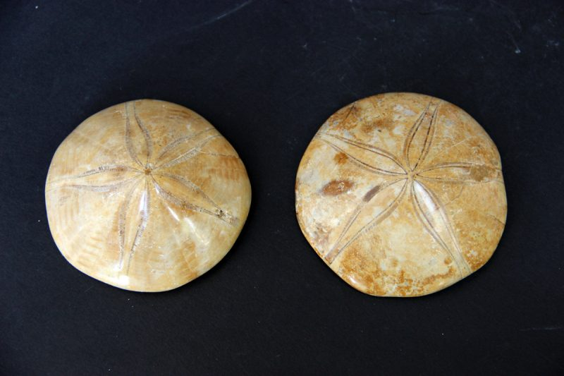 fosil ježa