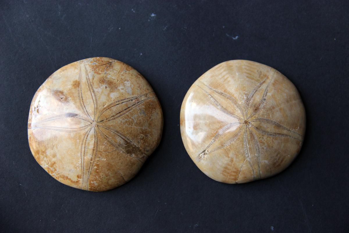 Ježinac fosil