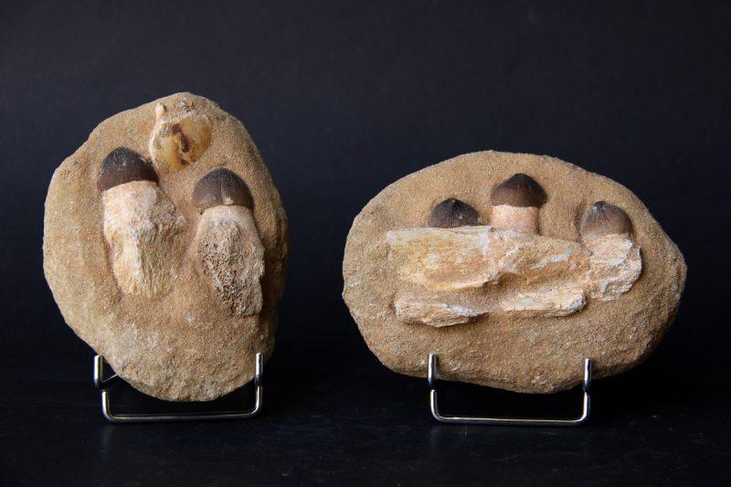 fosili Mosasaurusa