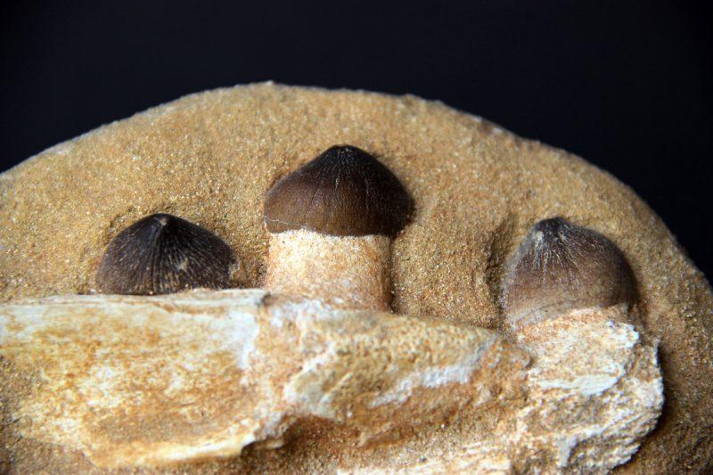 Mosasaurus zubi