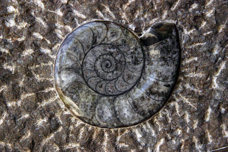 fosil amonita na stolu