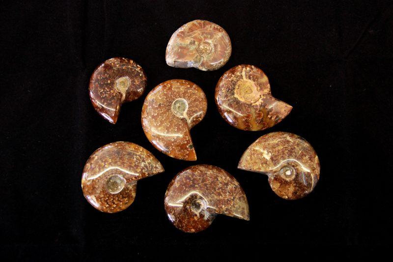 fosil amonita
