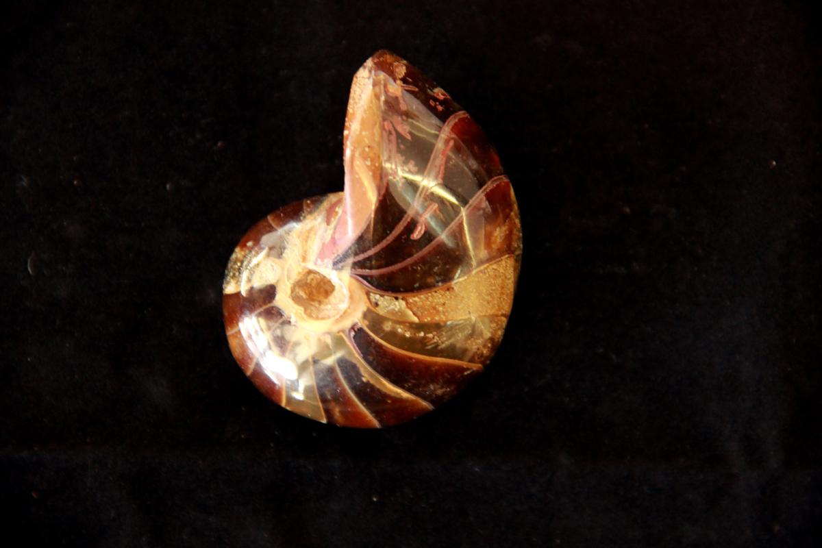 fosil nautilusa