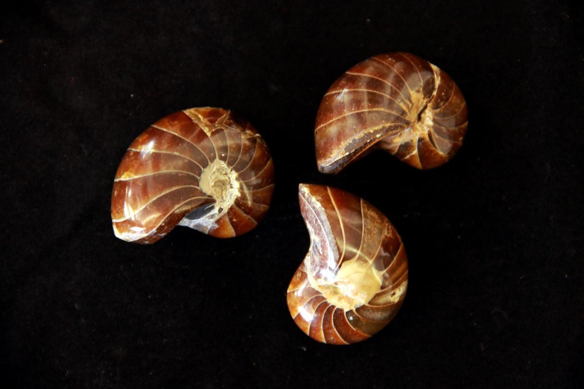 Nautilus fosil
