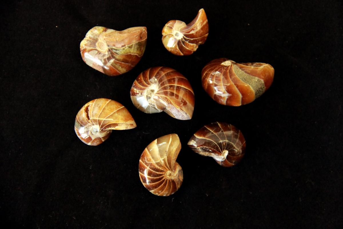fosili nautilusa