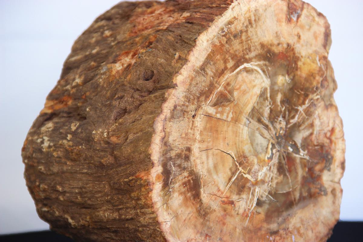 fosil drveta