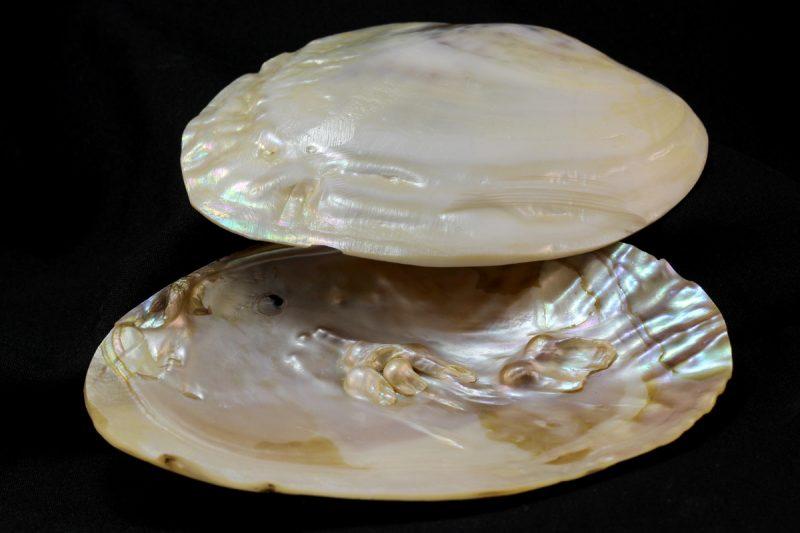 školjka